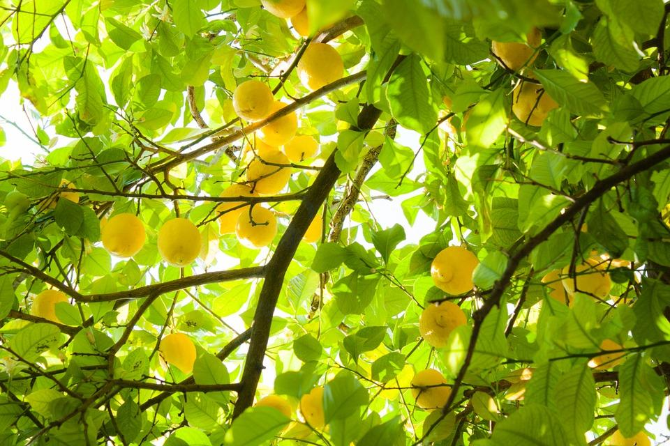 Beautiful sunlit lemon tree